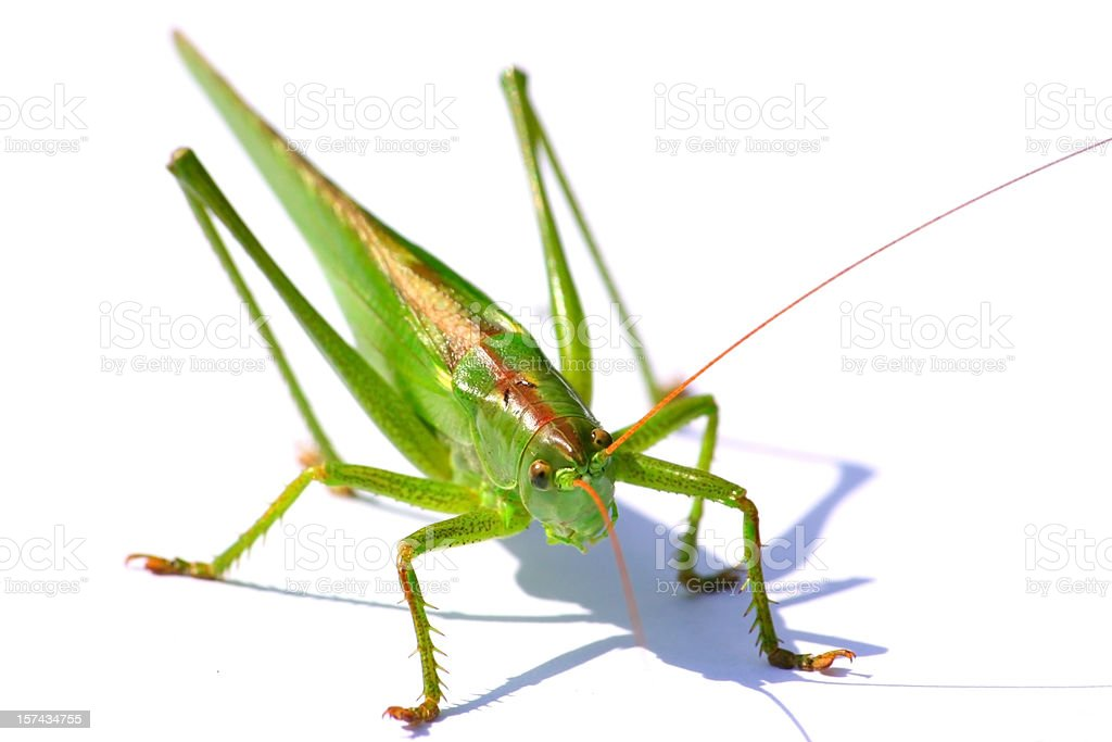 Grasshopper isolated royalty-free stock photo