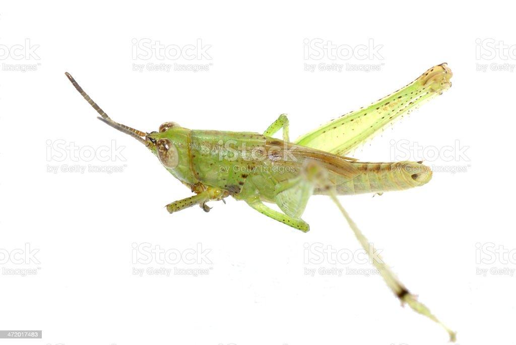 grasshopper isolated royalty-free stock photo
