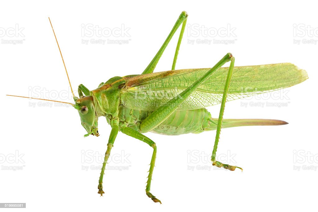 grasshopper isolated - Tettigonia viridissima stock photo