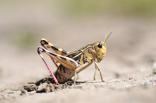 grasshopper laying eggs on the ground
