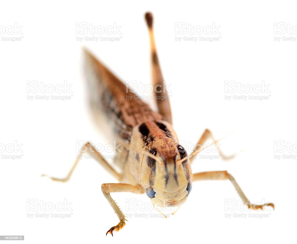 grasshopper locust on white background royalty-free stock photo