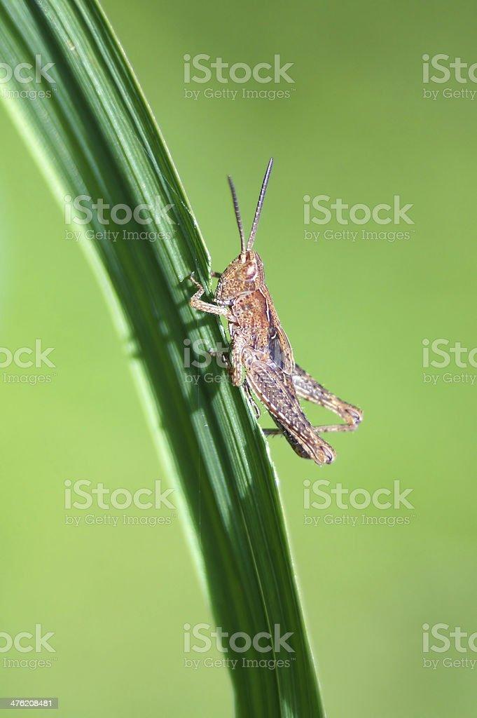 Grasshopper lunch. royalty-free stock photo