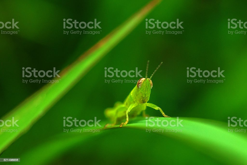 grasshopper macro in green nature stock photo