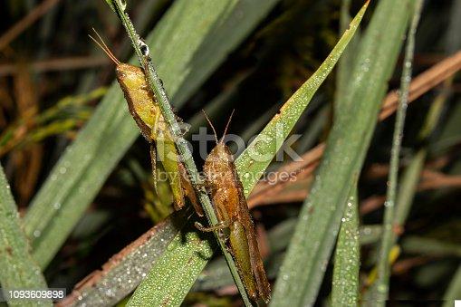 istock grasshopper macro photography 1093609898