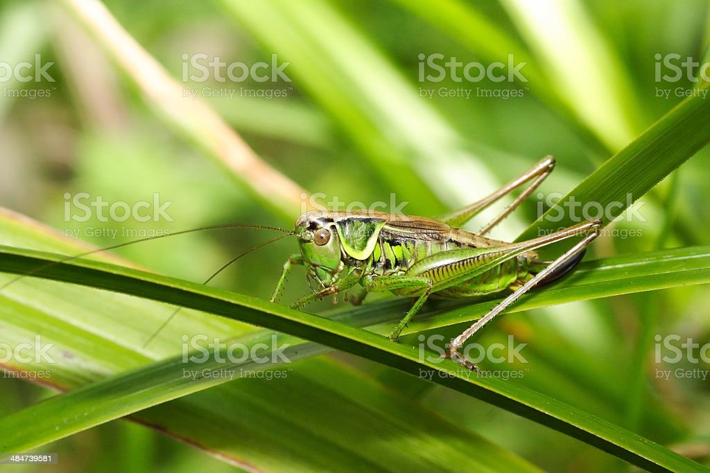 Grasshopper Metriopetera roeselii stock photo