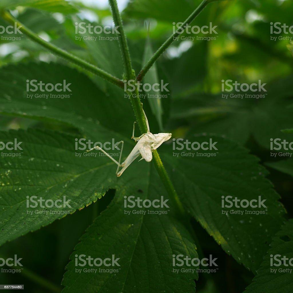 grasshopper molt stock photo