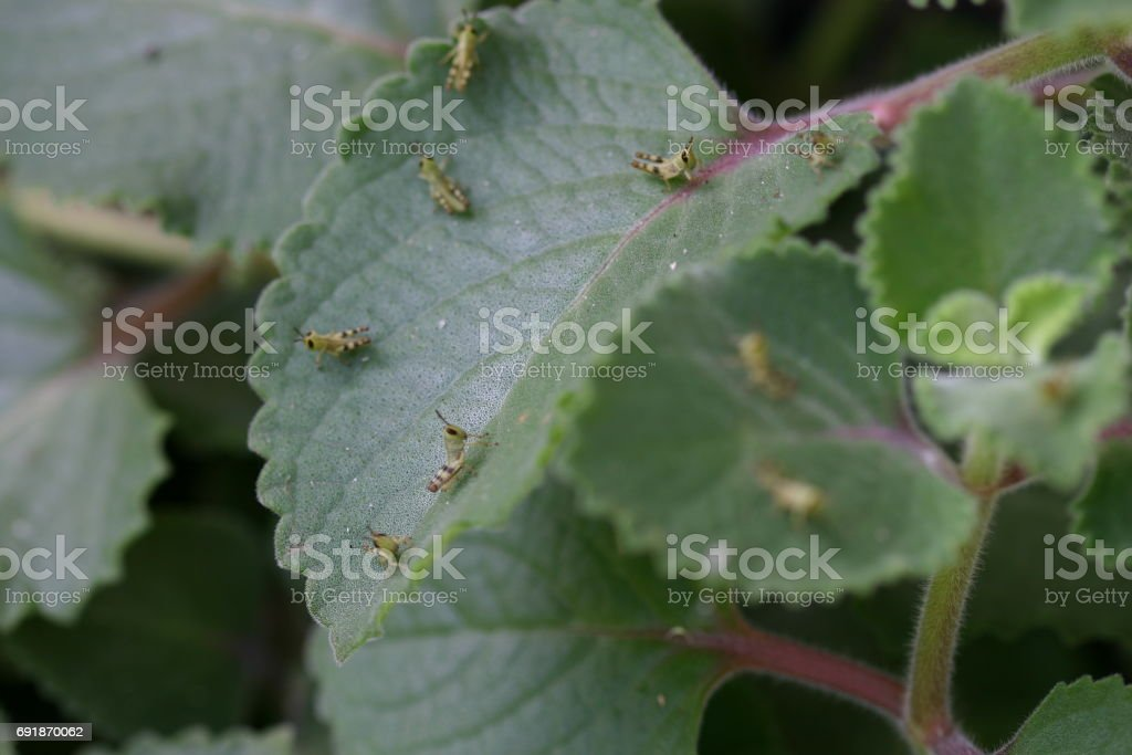 Grasshopper nymphs on herb leaves stock photo
