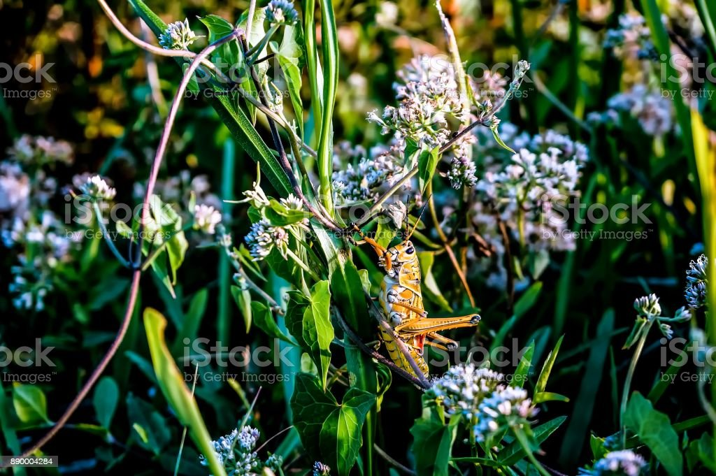 grasshopper on a blade of grass stock photo