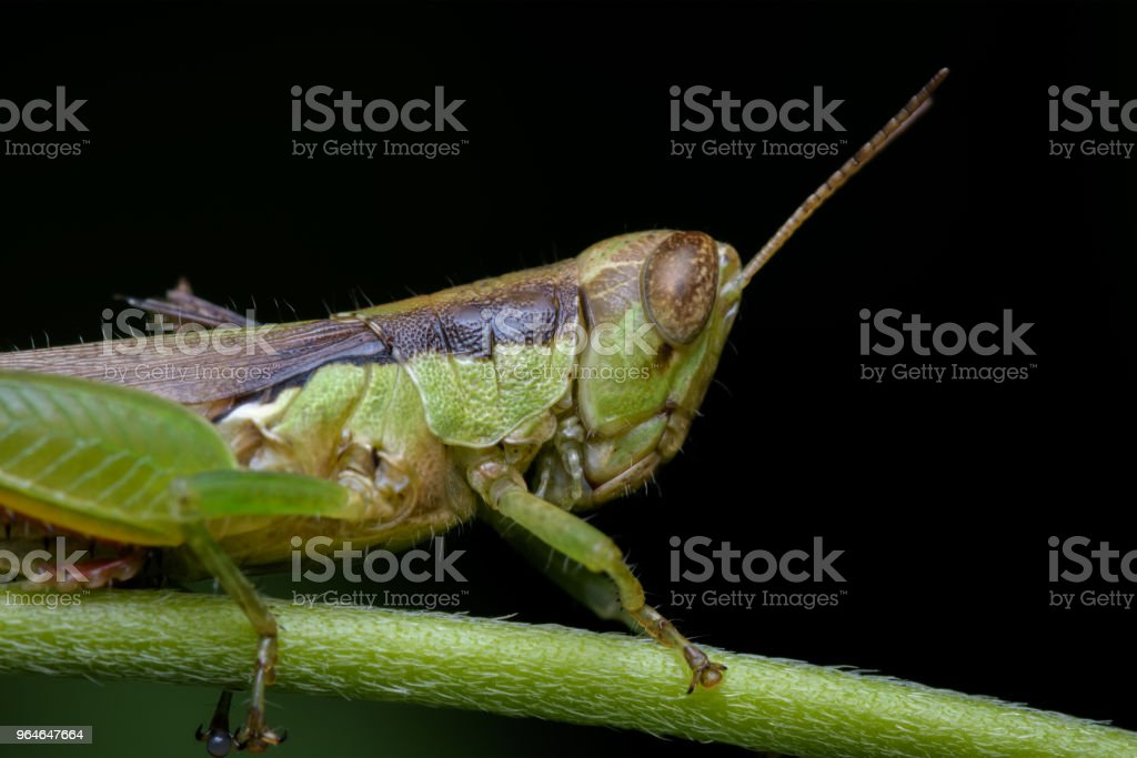 Grasshopper On A Branch royalty-free stock photo