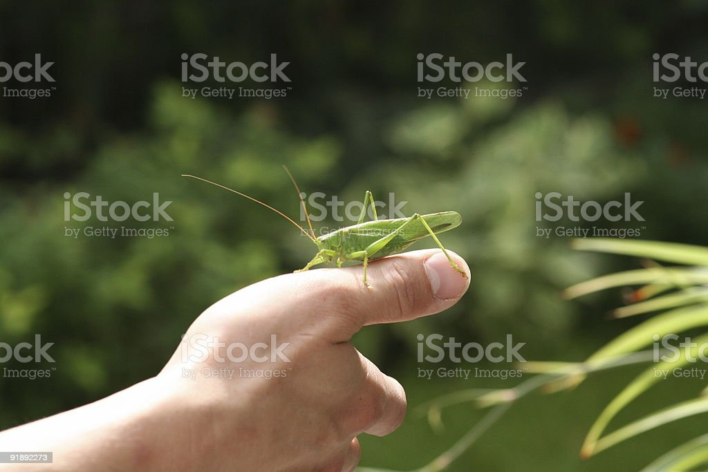 grasshopper on a hand royalty-free stock photo