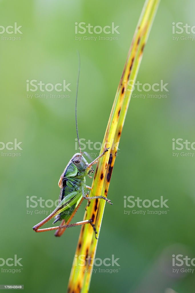 Grasshopper on a leaf of grass royalty-free stock photo