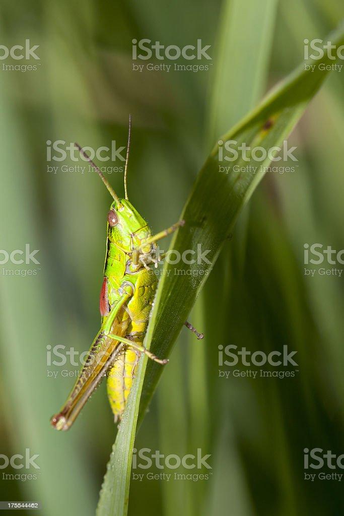 Grasshopper on a leaf royalty-free stock photo