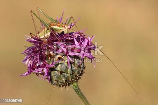 Close-up of a grasshopper with long antennae, sitting on a purple flower head against a blurred background