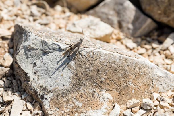 Grasshopper on a rock – zdjęcie