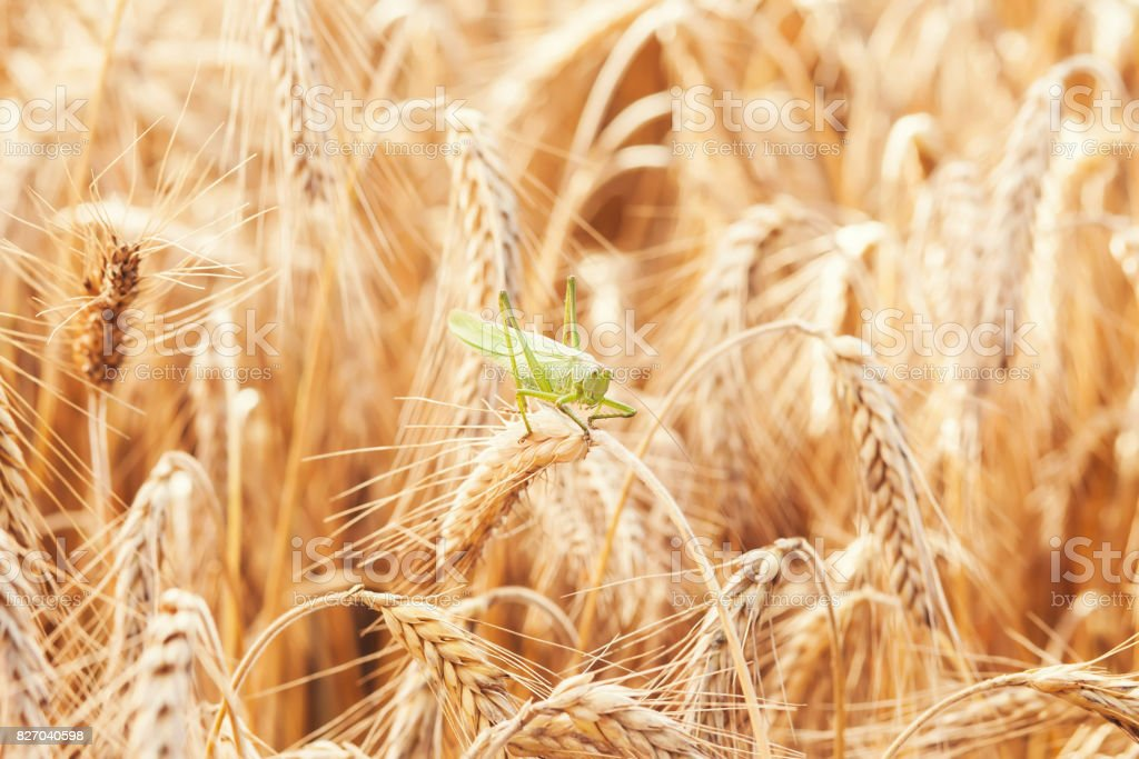 A grasshopper on a wheat stock photo