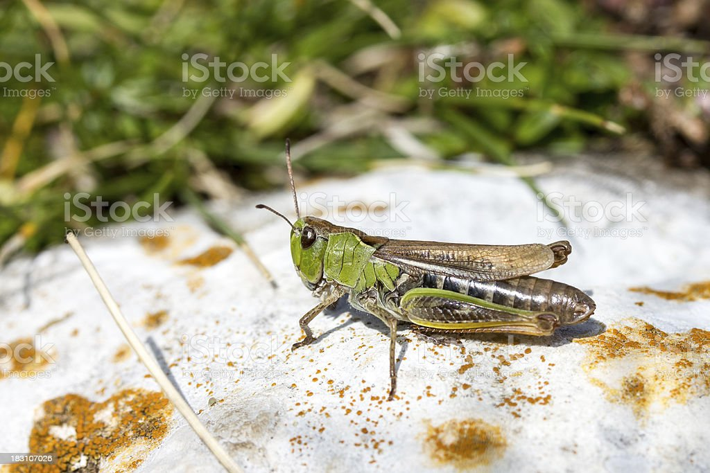 Grasshopper on a white stone royalty-free stock photo