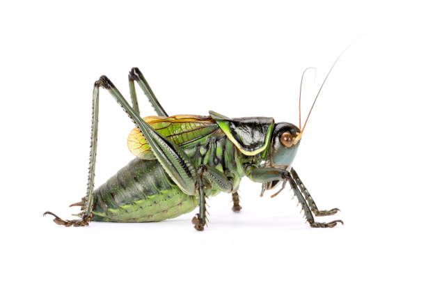 Grasshopper  on a whte background stock photo