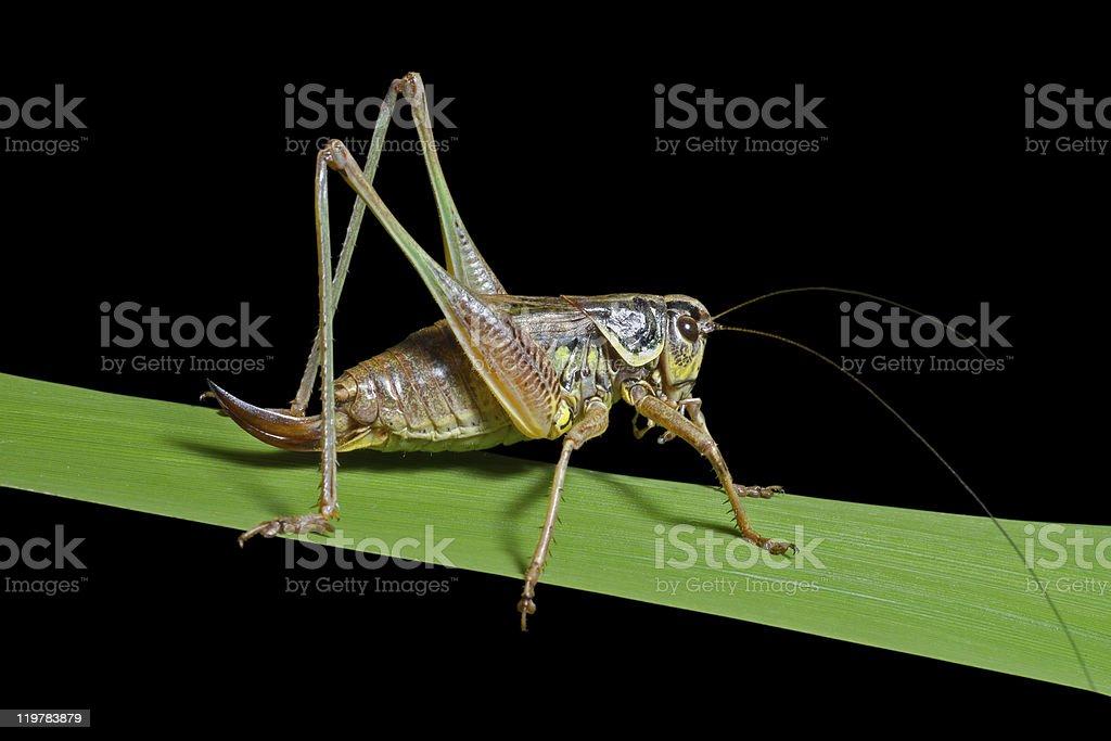Grasshopper on blade of grass royalty-free stock photo