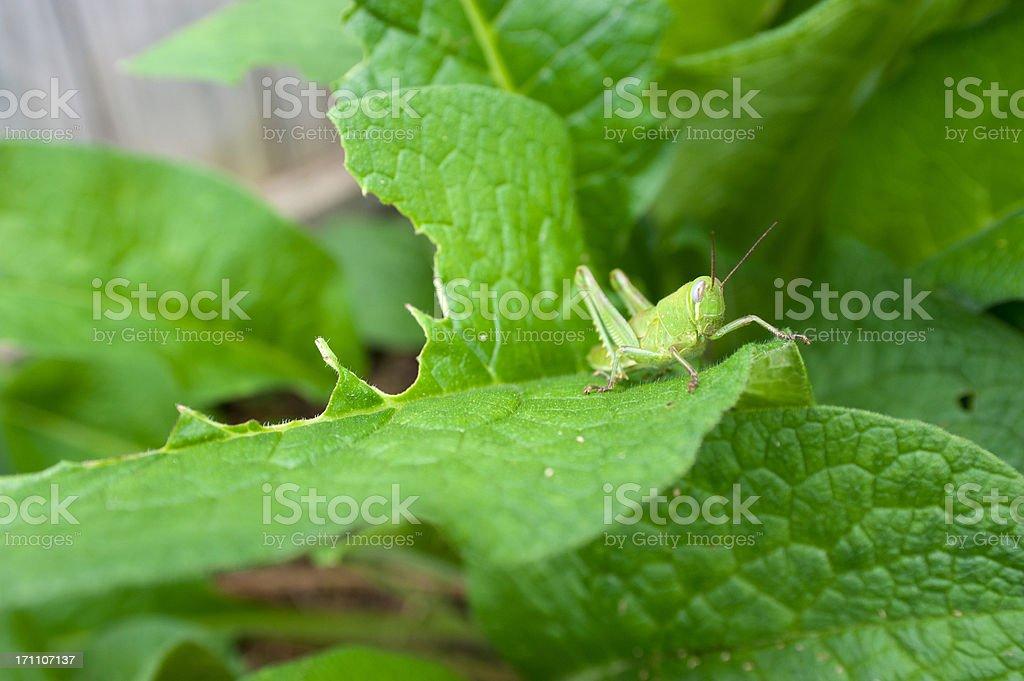 Grasshopper On Comfrey Leaf stock photo