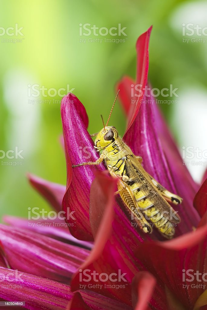 Grasshopper on Dahlia flower - I royalty-free stock photo