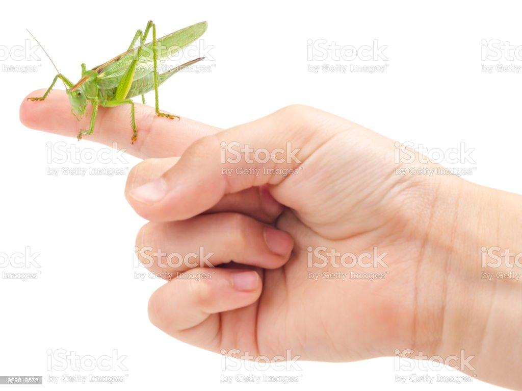 Grasshopper on finger isolated on white stock photo
