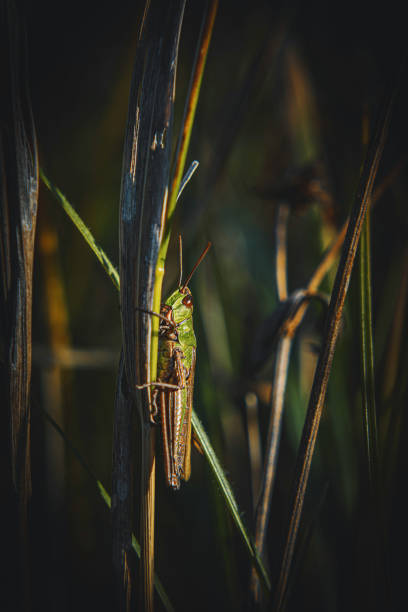 Grasshopper on Grass Side View stock photo