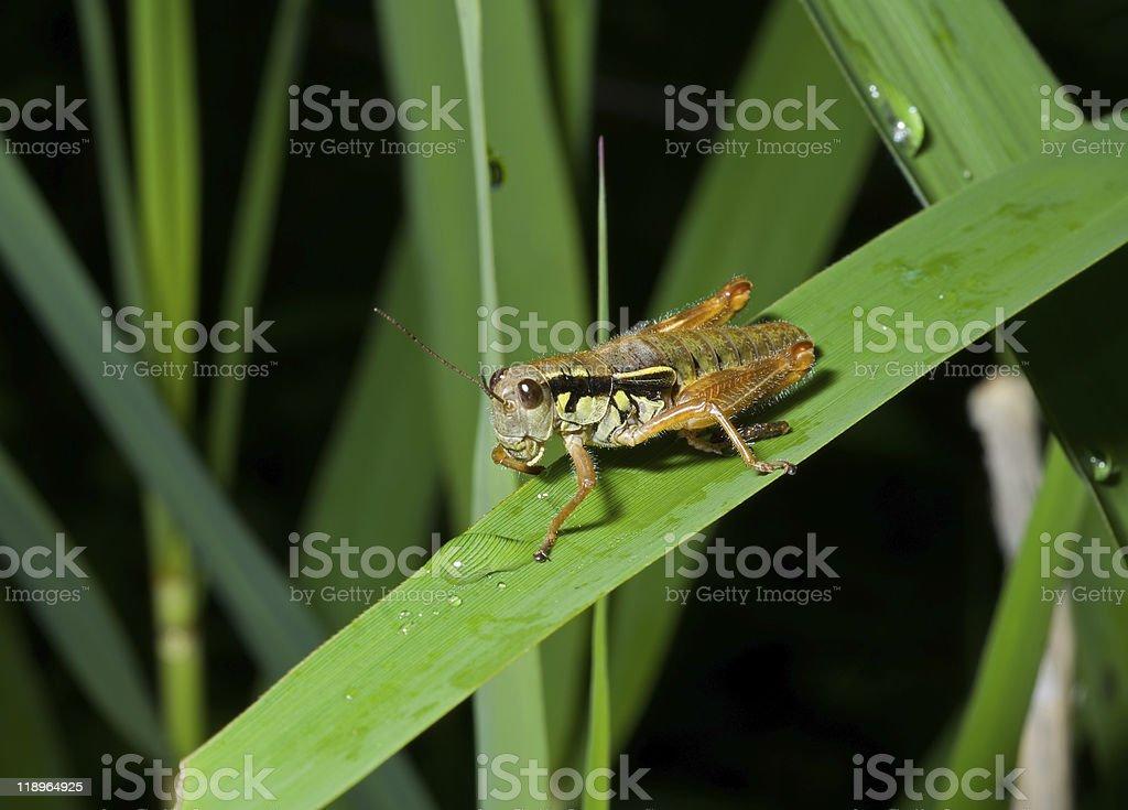 Grasshopper on grass-blade royalty-free stock photo