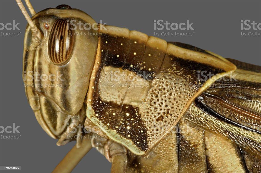 Grasshopper on Gray background royalty-free stock photo
