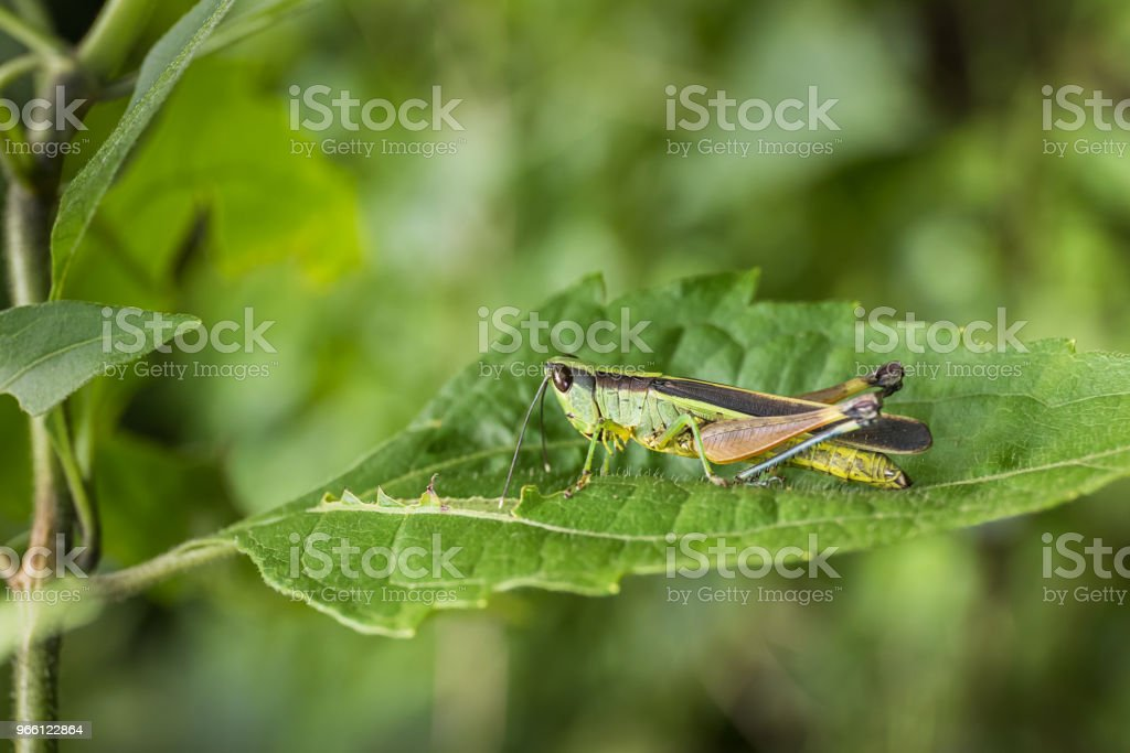 Grasshopper on green leaf in the forest - Royalty-free Animal Stock Photo