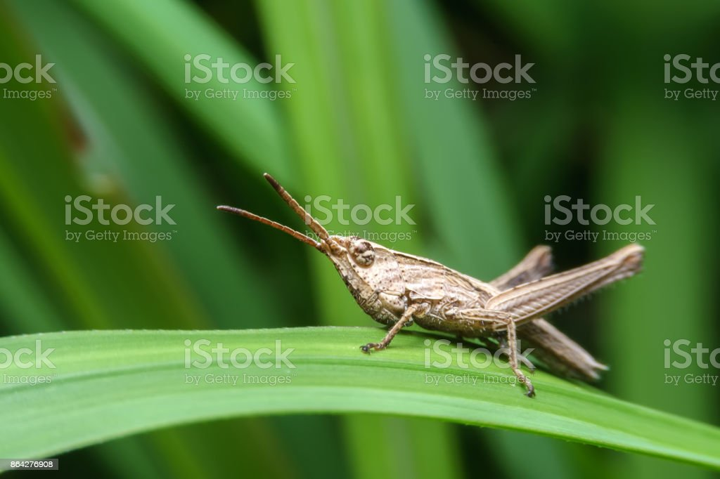 Grasshopper on green leaf on green background royalty-free stock photo