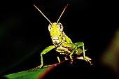 Grasshopper on green leaf.