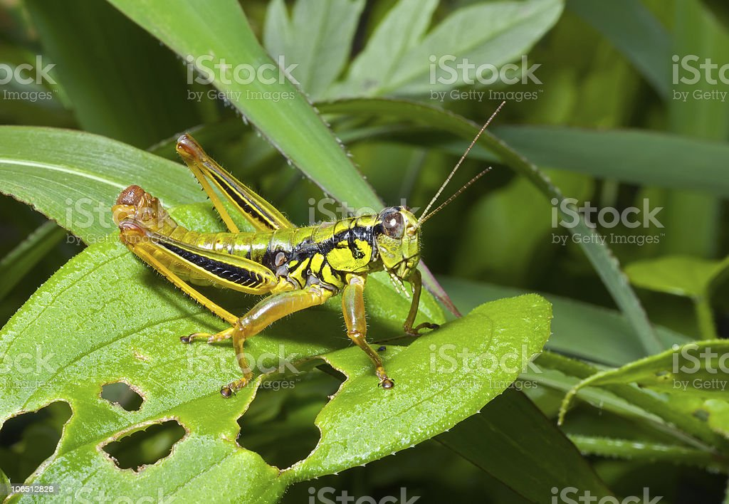 Grasshopper on leaf stock photo