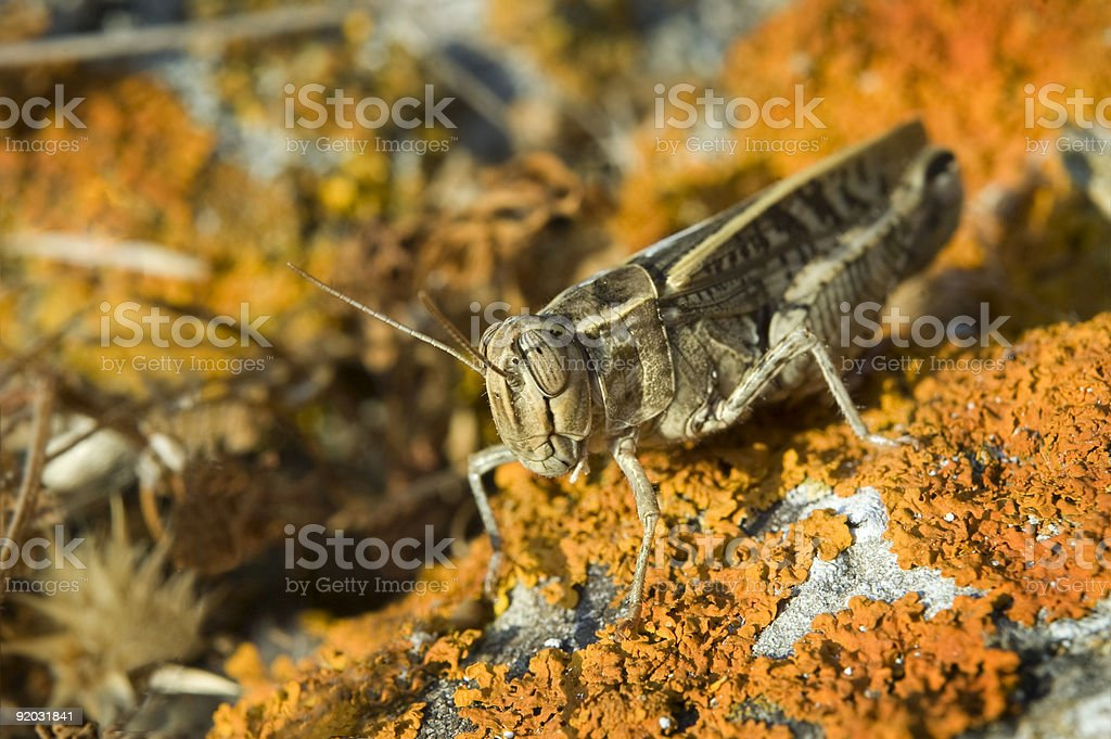 grasshopper on lichen royalty-free stock photo