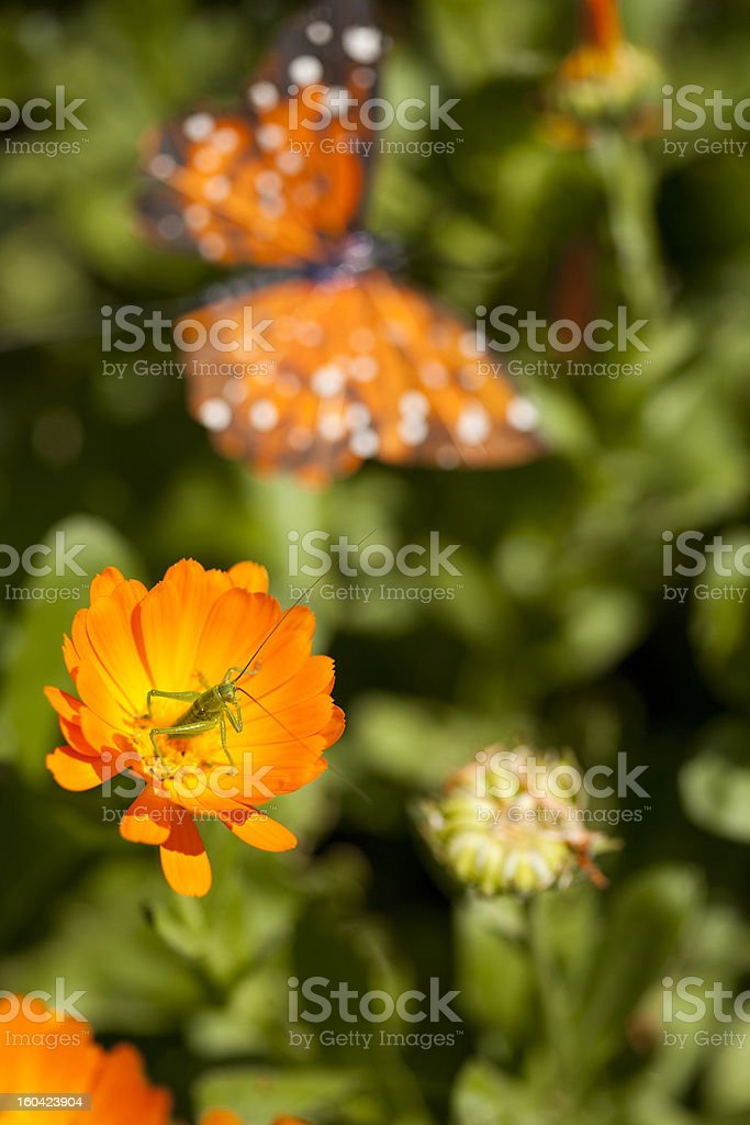 Grasshopper on marigold blossom and butterfly stock photo