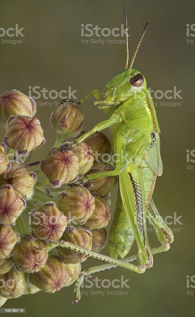 Grasshopper on milkweed buds royalty-free stock photo
