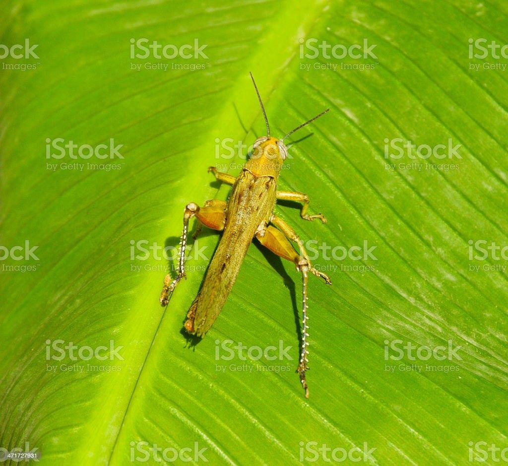 Grasshopper on palm leaf royalty-free stock photo