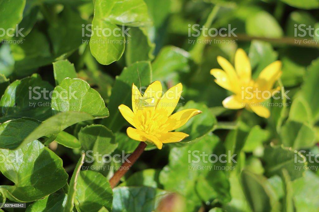 Grasshopper on pilewort flower stock photo