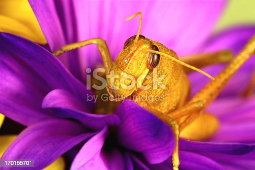 Yellow young grasshopper on a bright purple daisy. For other flower images, click below.