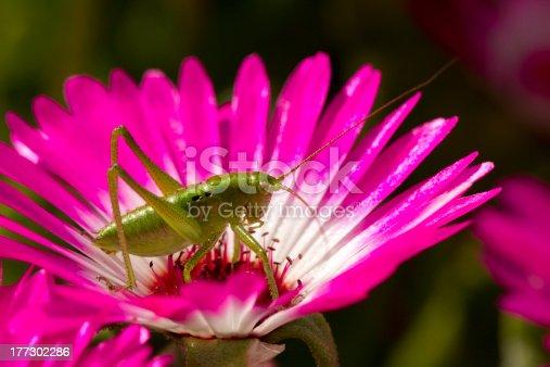 Grasshopper on petals of purple flower.