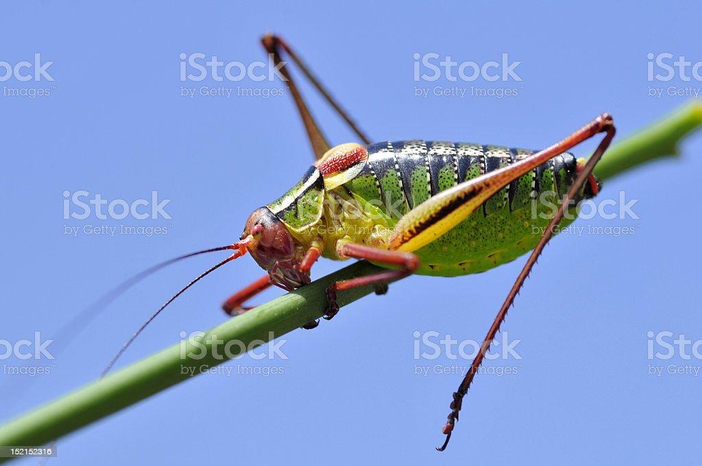Grasshopper on stalk royalty-free stock photo