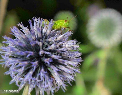 green grasshopper hanging on a globe thistle