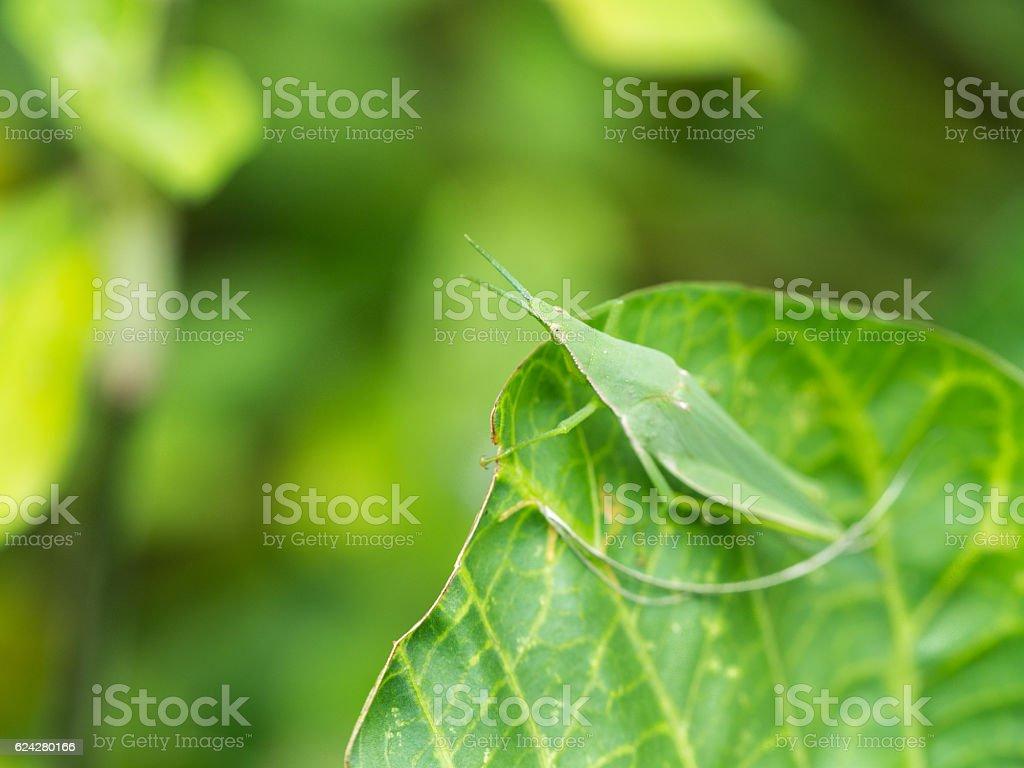 Grasshopper on The Green leaf stock photo