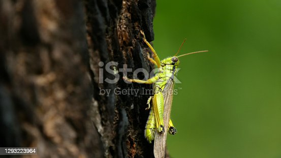 Close-up of a grasshopper on the trunk with green background