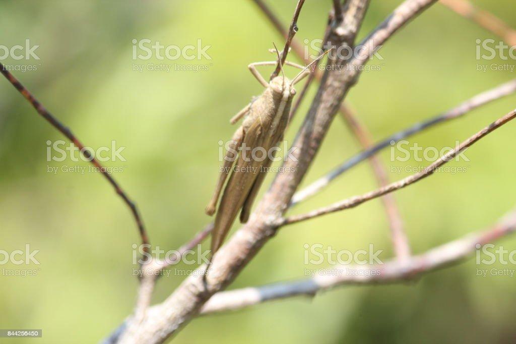 grasshopper on twig stock photo