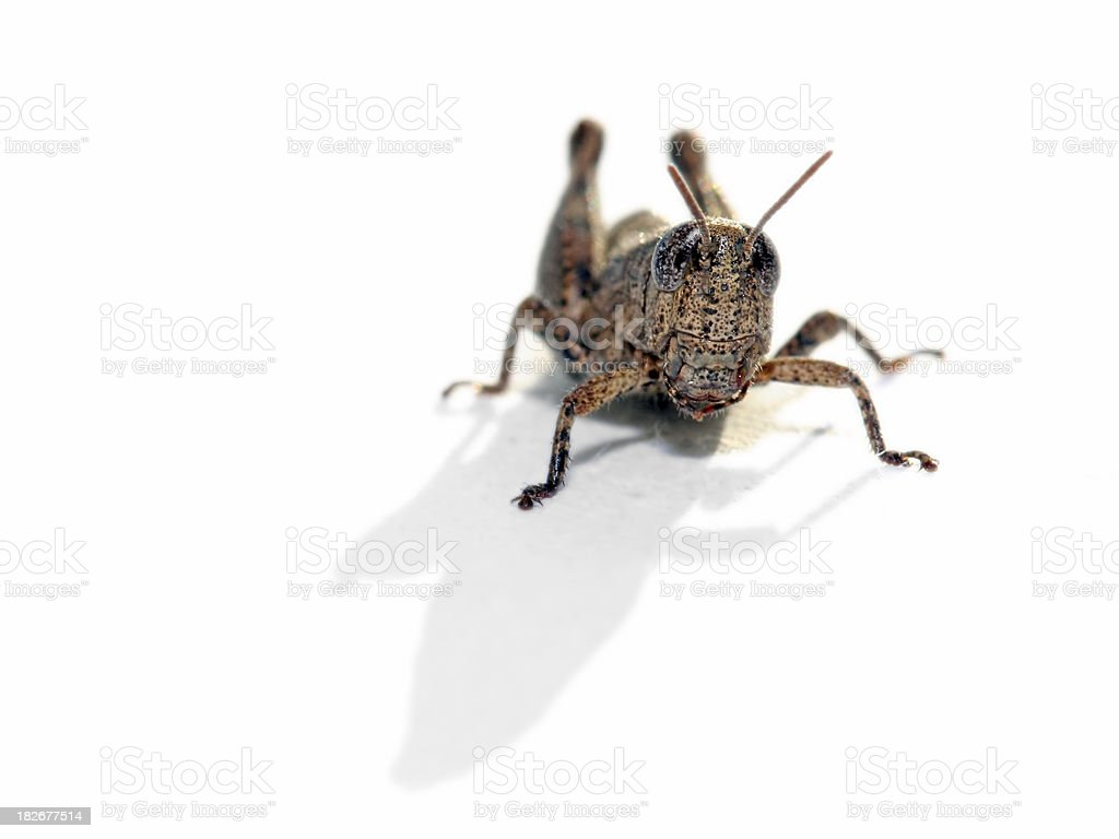 Grasshopper on white background royalty-free stock photo