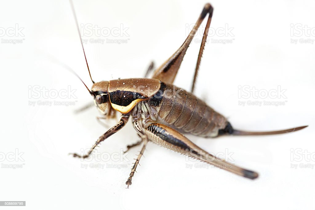 Grasshopper on white background stock photo