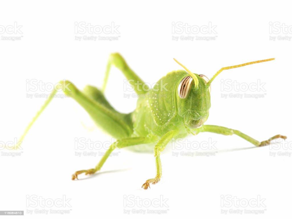 Grasshopper on white royalty-free stock photo