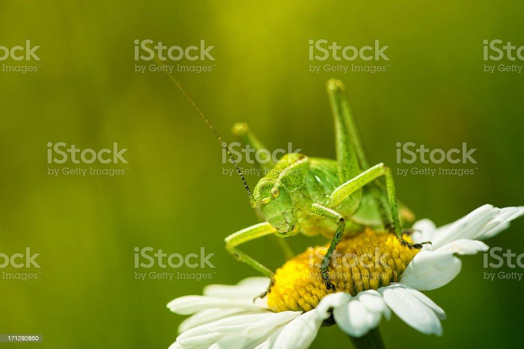 Grasshopper on wild flower royalty-free stock photo