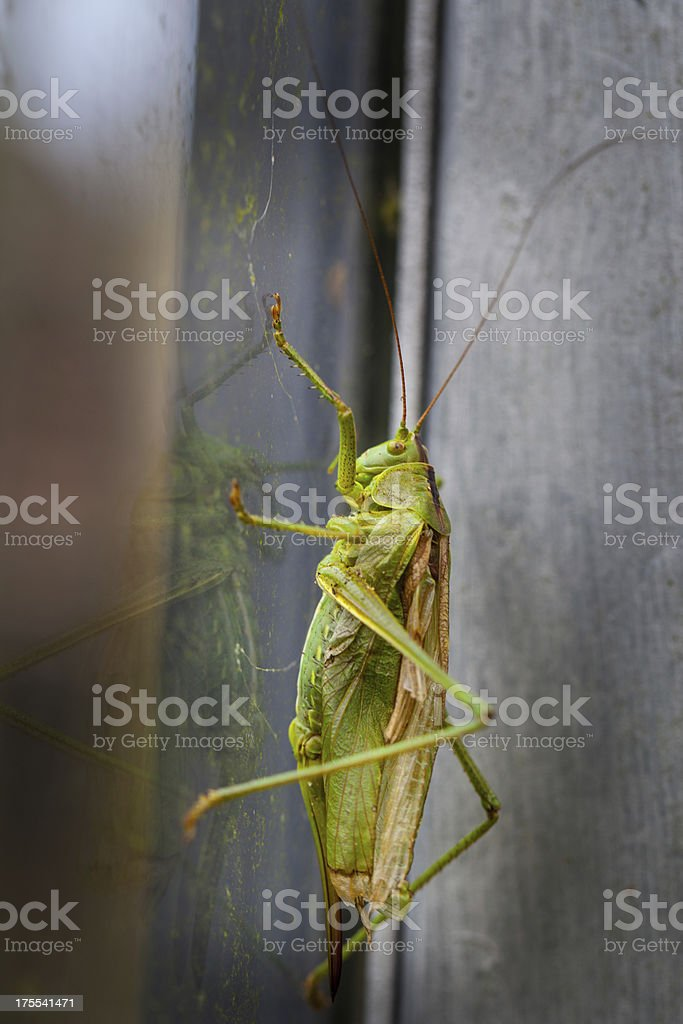 Grasshopper on window in greenhouse royalty-free stock photo