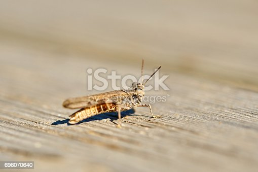 Grasshopper on wood.
